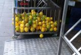 naranjas verdes desverdizadas asaja sevilla