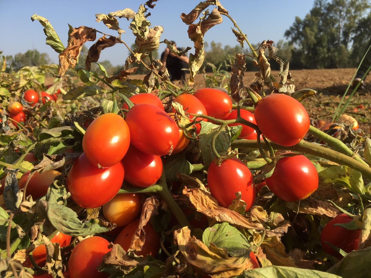 tomates cambio climatico