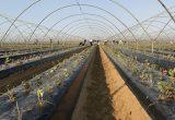 grufesa plantacion fresa