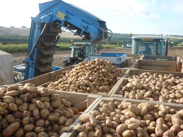 Cajas de patatas en el campo