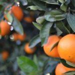 citricos naranjas en arbol