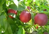 fruta hueso arbol