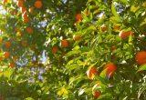 naranjo recurso cítricos naranja