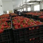 almacén fresas