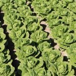 Ensayos de Syngenta de nuevas variedades de lechuga