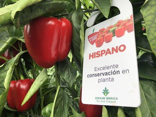 pimiento california rojo hispano ZERAIM