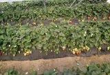 Mejora en la coloración y reducción de cracking en fresa Rociera