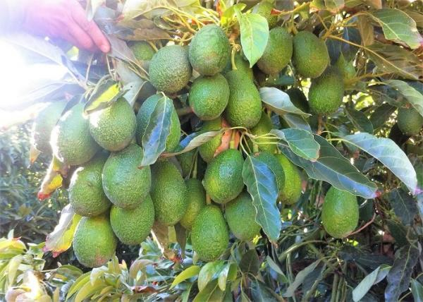 agq labs aguacate