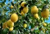 limones en arbol limonero