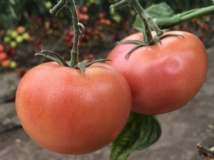 TOMATE ROSA CLAUSE