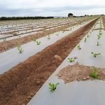 grupo operativo ACBD acolchados biodrgradables cultivo en campo aire libre agricultura