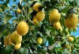 limones arbol citricos