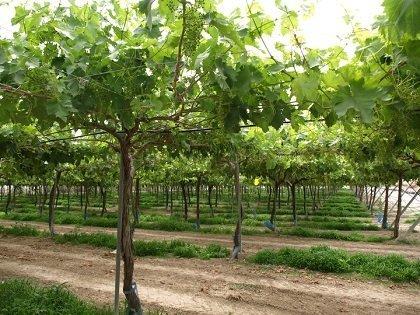 murcia Proyecto uva mesa ecológica seedless apirenas