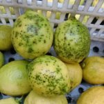 limones con enfermedad