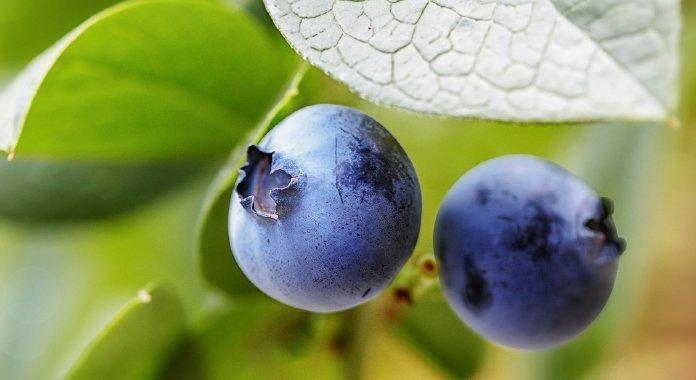 seminario blueberries sevilla arándano