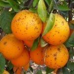 Mancha negra citricos naranja