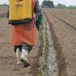 VELLSAM Empleo de Mixhor Plus en cultivo de alcachofa