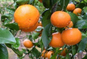 mandarina Orri