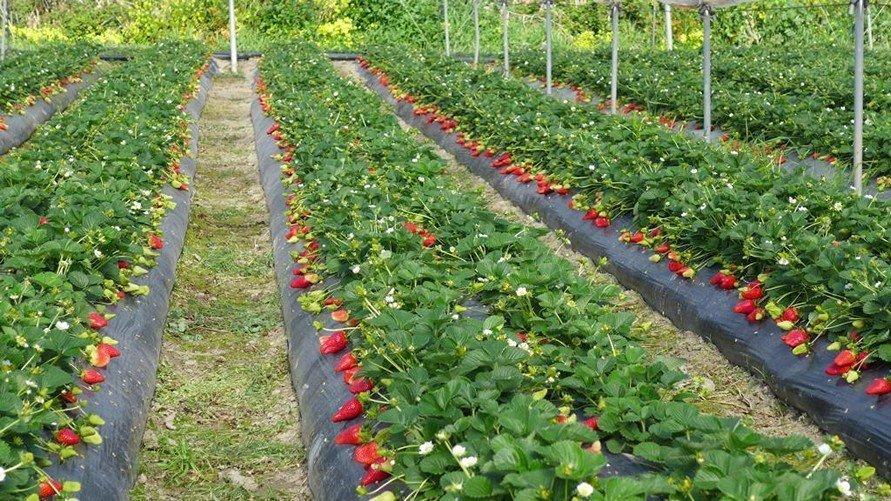 fresa marisol viveros california