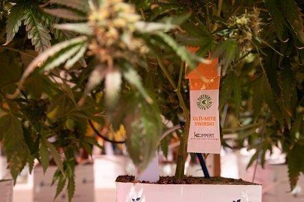 Cannabis_Koppert Biological Systems
