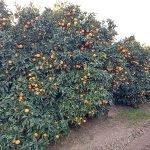 naranjo citricos asaja cordoba