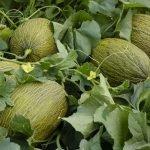Graciano melón syngenta