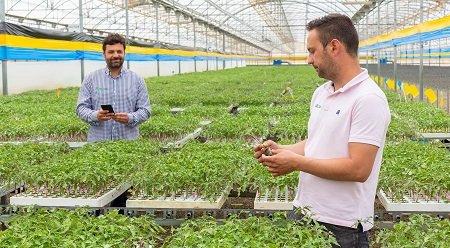 el plantel semilleros mircoinjertos tomate