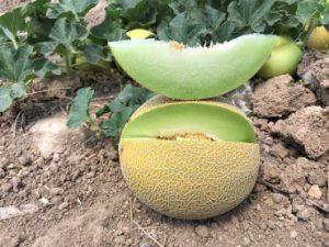 seminis melon