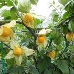 goldenberry ecuador