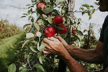 Kanzi® harvest