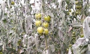 ASAJA HELADAS invernadero tomate