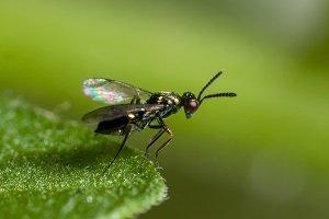 Diglyphus isaea_Bioline Agrosciences