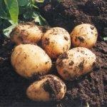 Patata nueva_junta andalucía
