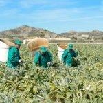 Arranca la campaña de recogida de alcachofas