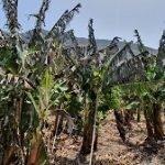 agroseguro platano canarias